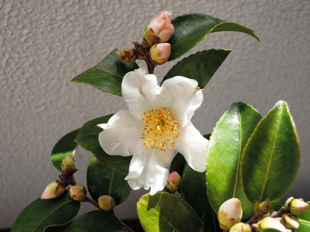 額田王の開花