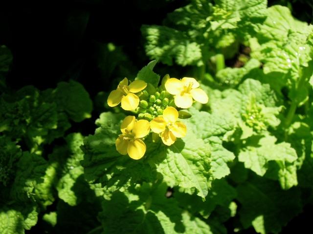 ことしの菜の花