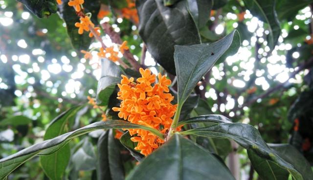 ひめやかに花をつけ豊かに薫る金木犀