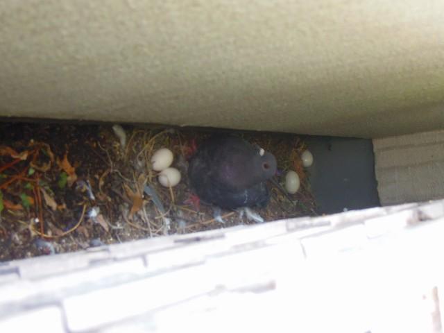 排水溝にもうけた鳩の巣