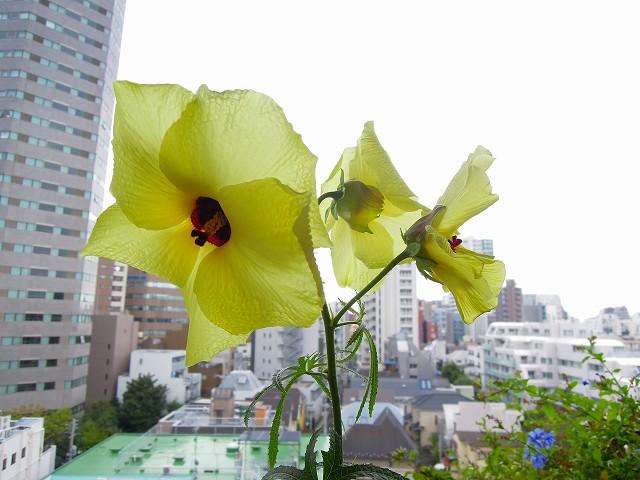 晩夏に大輪の花をつけるアオイ