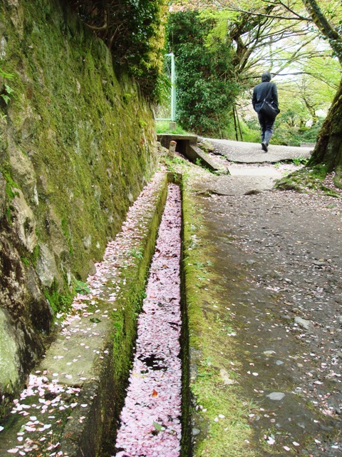 花筏 京都・哲学の道