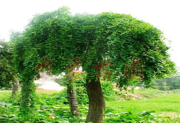中国百度百科/枝のたれた夏の龍爪槐