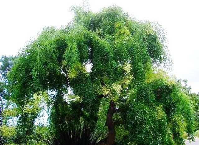 葉の生いしげった龍爪槐