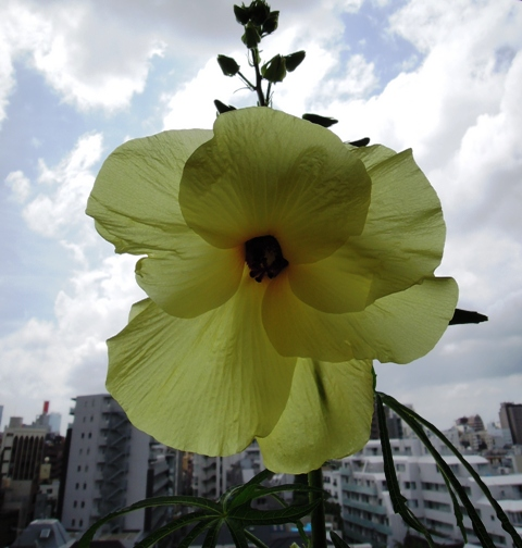 トロロアオイの花。