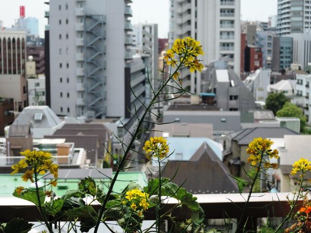 野沢菜の花と種子