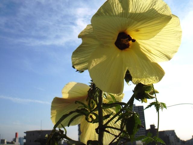 2013年空中庭園在りし時のトロロアオイ