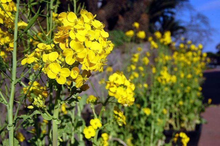 仙巌園の菜の花
